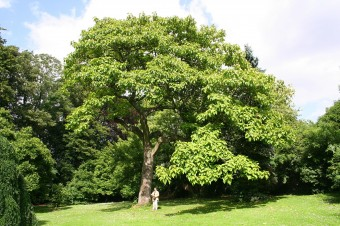 La feuille charbinoise le paulownia arbre imp rial - Arbre a croissance ultra rapide ...