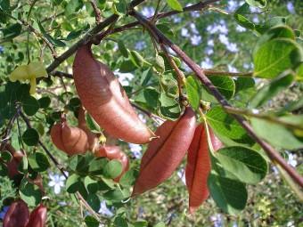 Colutea_arborescens fruits