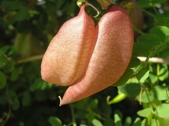 Colutea_arborescens_fruit