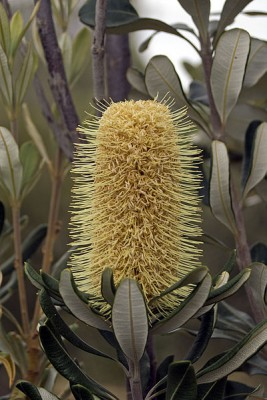 400px-Mature_flower_of_an_Banksia_integrifolia