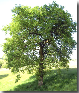 Notre arbre n'atteindra jamais sa taille adulte...