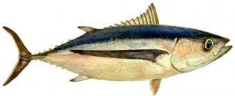 thon-blanc