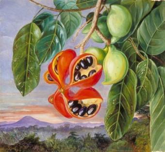 foliage-and-fruit-of-sterculia-parviflora-1870.jpg!Blog