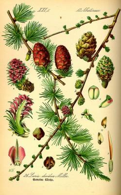 planche botanique Larix_decudua0
