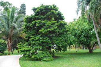 Caesalpinia_echinata_Tree_3