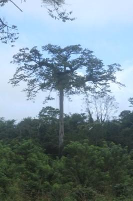 majestueux Ceiba