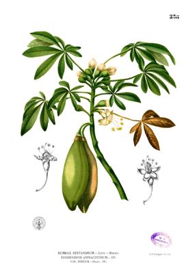 planche botanique ceiba