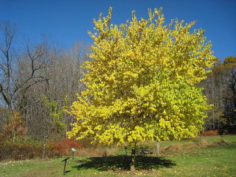 Lasdon_Arboretum_-_Maclura_pomifera_-_IMG_1420