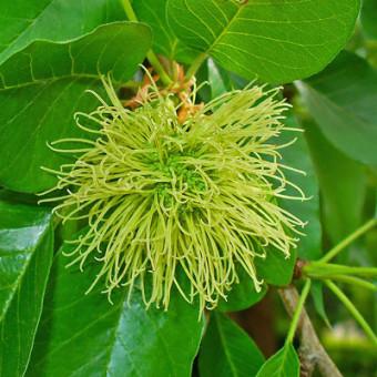 oranger-osages-inflorescence-femelle