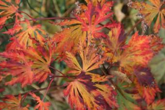 Erable du Japon particulièrement coloré