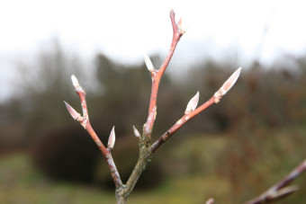 Les bourgeons du stewartia semblent prêts à éclore...